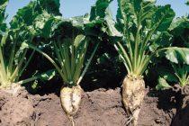 Ολοκληρώθηκε η μελέτη του Υπουργείου Αγροτικής Ανάπτυξης για την χρηματοδότηση της καλλιέργειας ζαχαρότευτλων