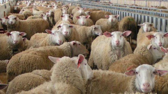 Λίγοι οι δικαιούχοι κτηνοτρόφοι για την ενίσχυση από τα καιρικά φαινόμενα