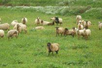 Η Περιφέρεια προειδοποιεί τους κτηνοτρόφους για πανώλη των μικρών μηρυκαστικών