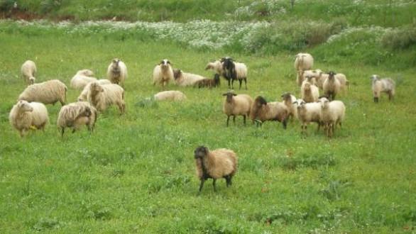 Κτηνοτροφικός Σύλλογος Αλεξανδρούπολης:Καμία ανησυχία για τα κρούσματα βρουκέλλωσης