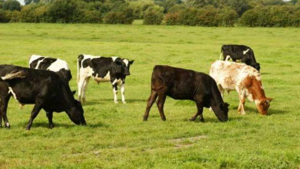 Οδηγίες και μέτρα εφαρμογής από την Περιφέρεια για την Οζώδη δερματίτιδα βοοειδών