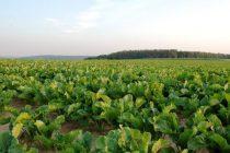 Καταβλήθηκε 10% της περσινής σοδειάς στους τευτλοπαραγωγούς
