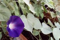Ο Νοέμβριος στις πρώτες του μέρες και το λουλούδι με την καρδιά παραμένει ακόμα μωβ ανθισμένο…