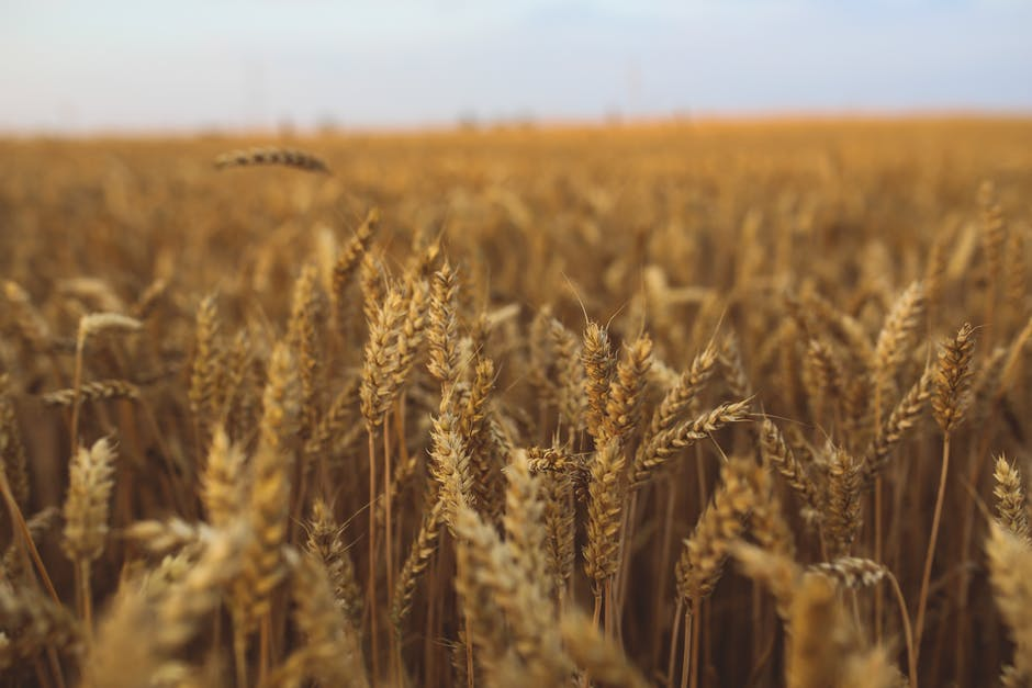 χωράφι σιτάρι αγρότες
