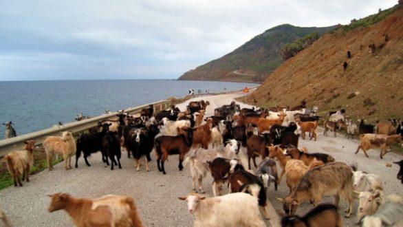 2.500 αιγοπρόβατα χάθηκαν στη Σαμοθράκη