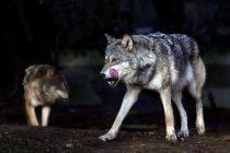 Κυνηγετικός Σύλλογος Αλεξανδρούπολης: Αυξανόμενες οι επιθέσεις λύκων σε σκύλους