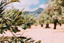 Δελτίο γεωργικής προειδοποίησης για τον Δάκο ελιάς από την Π.Ε Έβρου