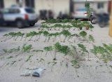 113 δενδρύλλια κάνναβης εντόπισαν οι αρχές σε σπίτι 55χρονης στην Καβύλη