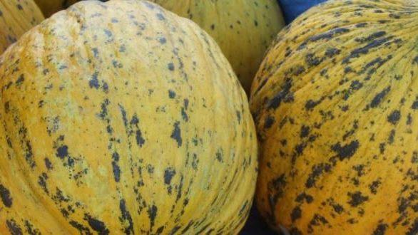 Π.Ε. Έβρου: Συστήνεται προσοχή και λήψη μέτρων στους παραγωγούς πεπονιού για την ασθένεια «Ωίδιο»