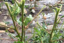 Τι  γεωργικές ζημιές υπήρξαν στον Έβρο από την κακοκαιρία-Κινητοποίηση του ΥΠΑΑΤ