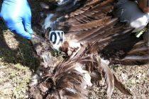 Μαυρόγυπας και Κραυγαετός νεκροί από πρόσκρουση σε έλικες ανεμογεννητριών στον Νότιο Έβρο