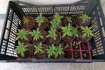 Συλλήψεις για καλλιέργεια και διακίνηση ναρκωτικών σε Έβρο και Δράμα