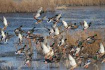 Κυνηγοί «χτυπούν» ακόμη και προστατευόμενα είδη. Μελέτη στο Δέλτα του Εβρου