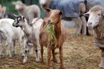 11,5 εκατ. ευρώ για εμβολιασμούς στο ζωικό κεφάλαιο