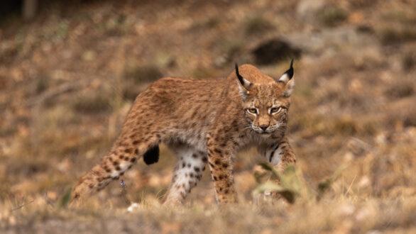 Λύγκας:Το εξαφανισμένο στην Ελλάδα άγριο θηλαστικό, στον Αρκτούρο